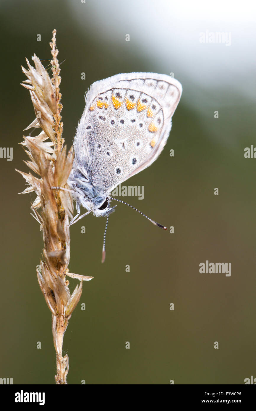 Common Blue butterfly (Polyommatus icarus)adult male roosting, covered in dew. Causse de Gramat, Lot region, France. - Stock Image