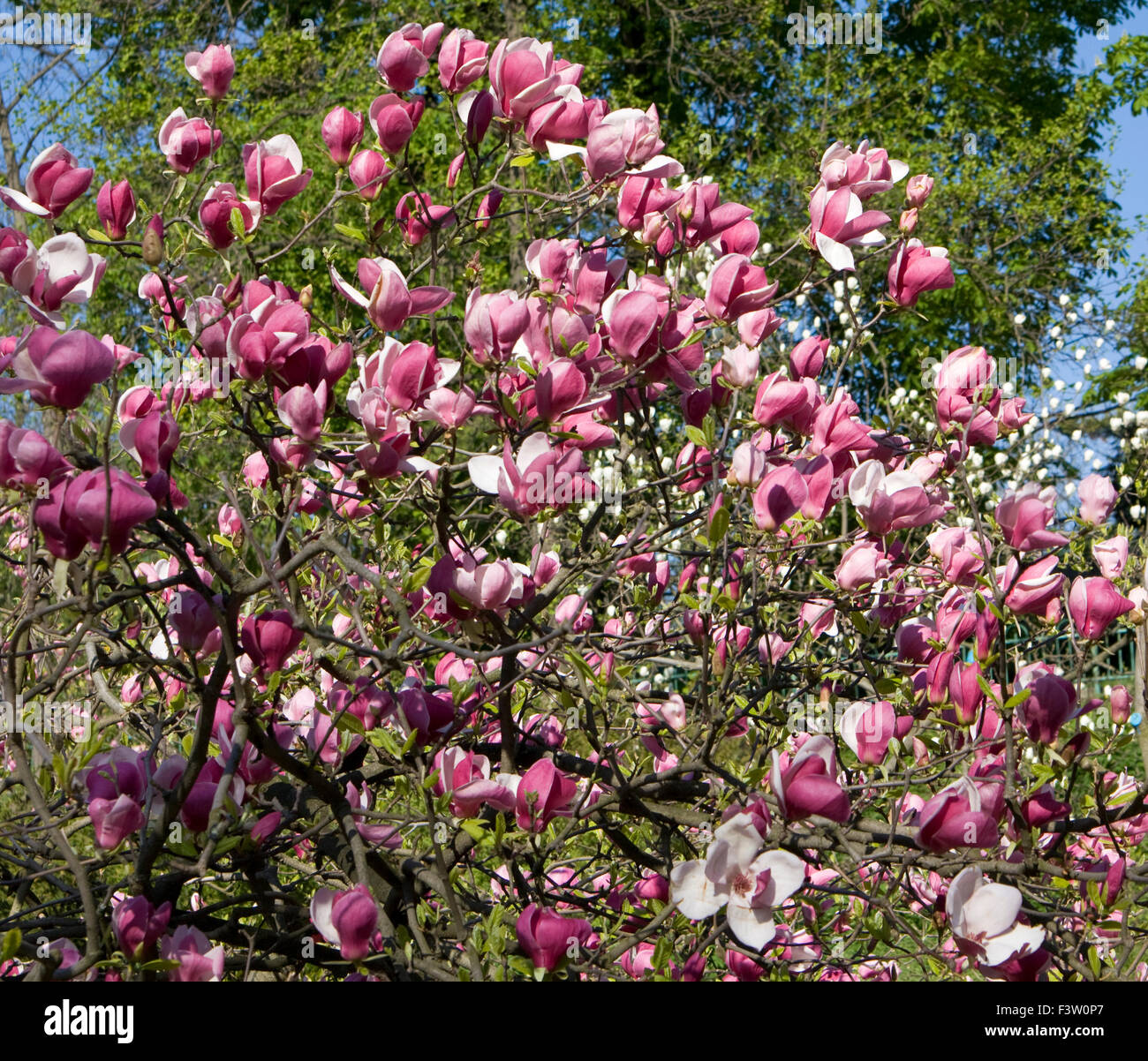 Branches Of Magnolia Tree With Pink Flowers Stock Photo 88445231