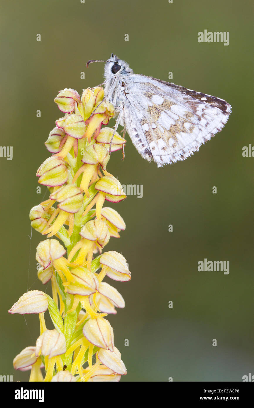 Safflower Skipper butterfly (Pyrgus carthami) adult roosting on a Man Orchid (Orchis anthropophora) flower. France. - Stock Image