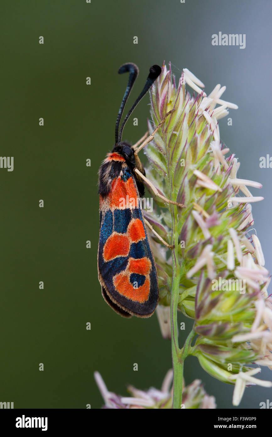 Burnet moth (Zygaena hilaris) adult moth resting on a grass flower. Causses de Gramat. Lot Region, France. May. - Stock Image