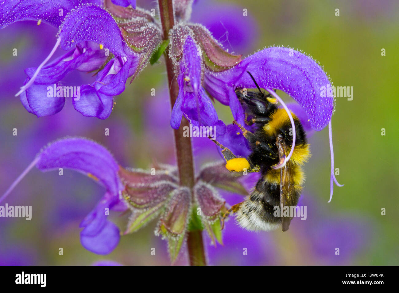 Garden Bumblebee (Bombus hortorum) adult worker feeding on a Meadow Clary (Salvia pratensis) flower. France. - Stock Image
