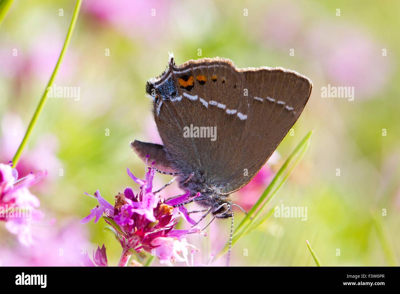 Blue-spot Hairstreak (Satyrium spini) adult butterfly feeding on Thyme (Thymus sp.) flowers. Causse de Gramat, France. - Stock Image