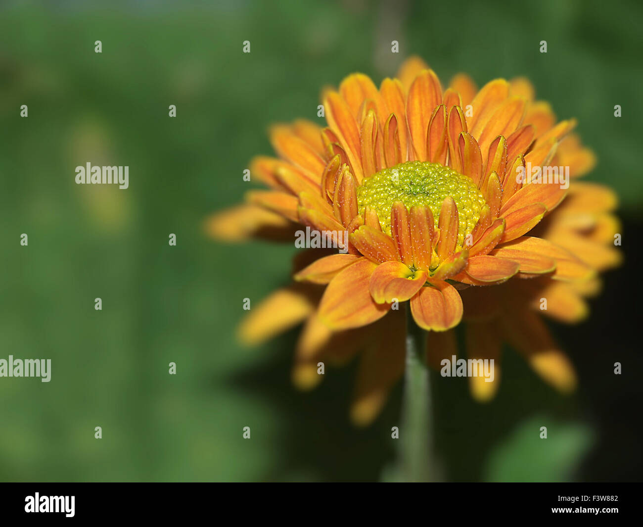 Herbst Chrysantheme Stock Photos Herbst Chrysantheme Stock Images