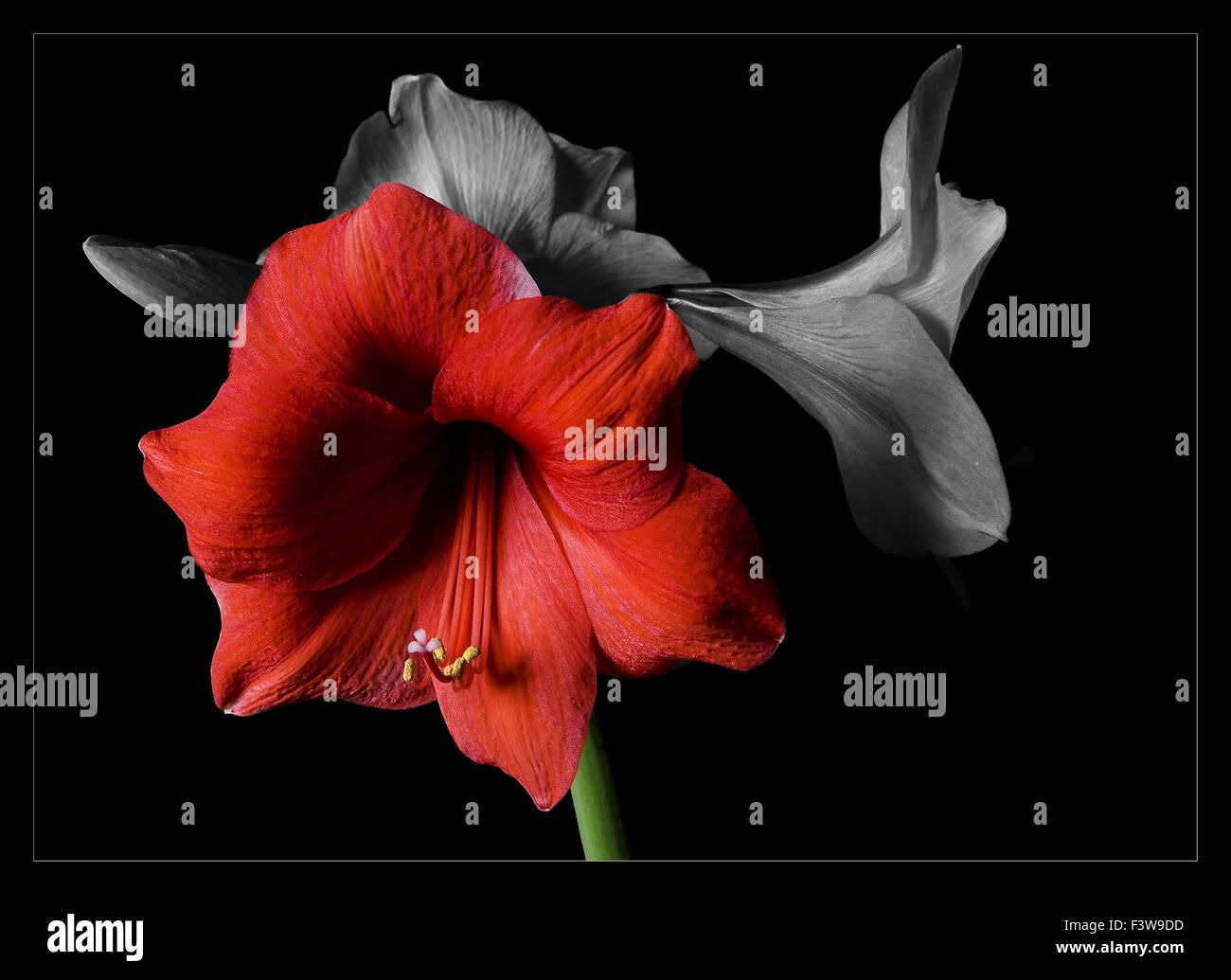 Amaryllis Stock Photo