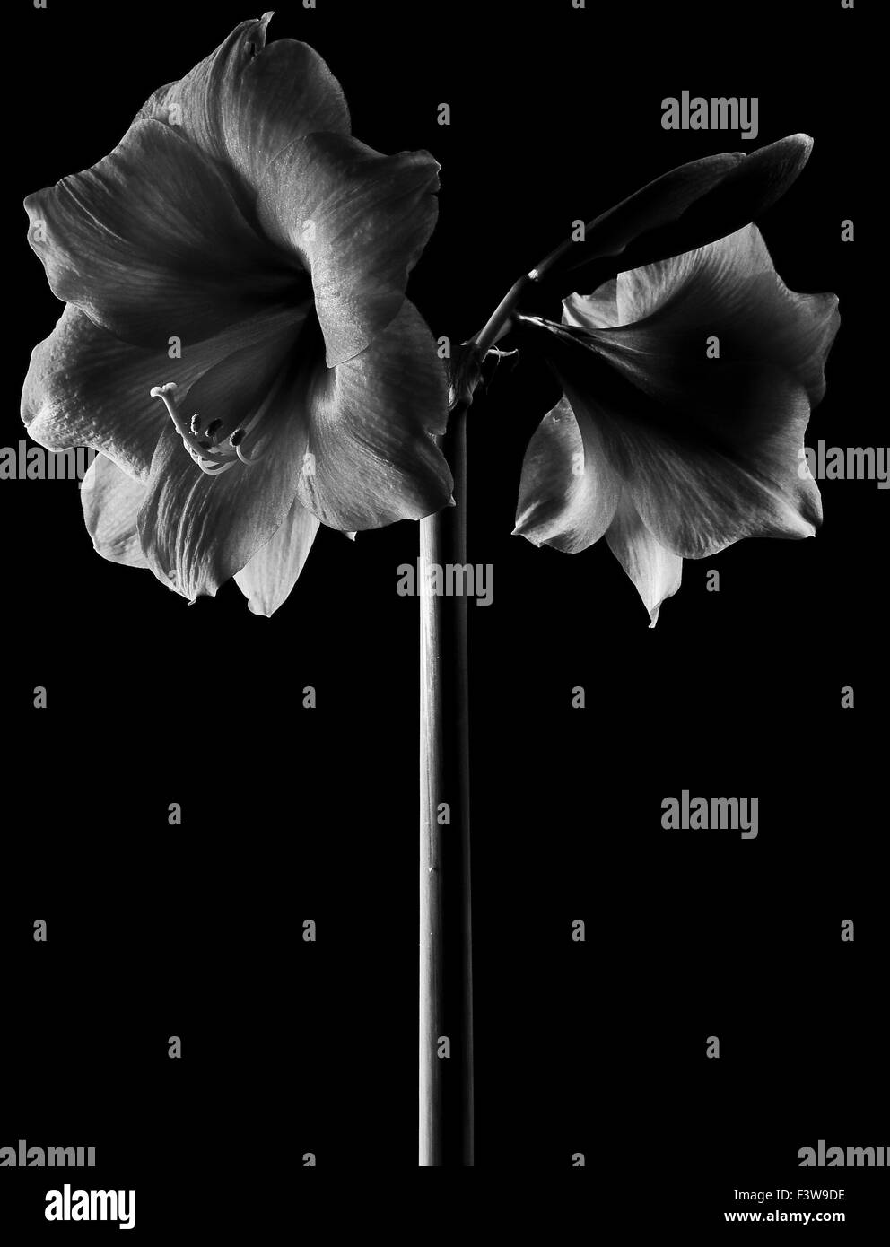 Amaryllis Stock Photo