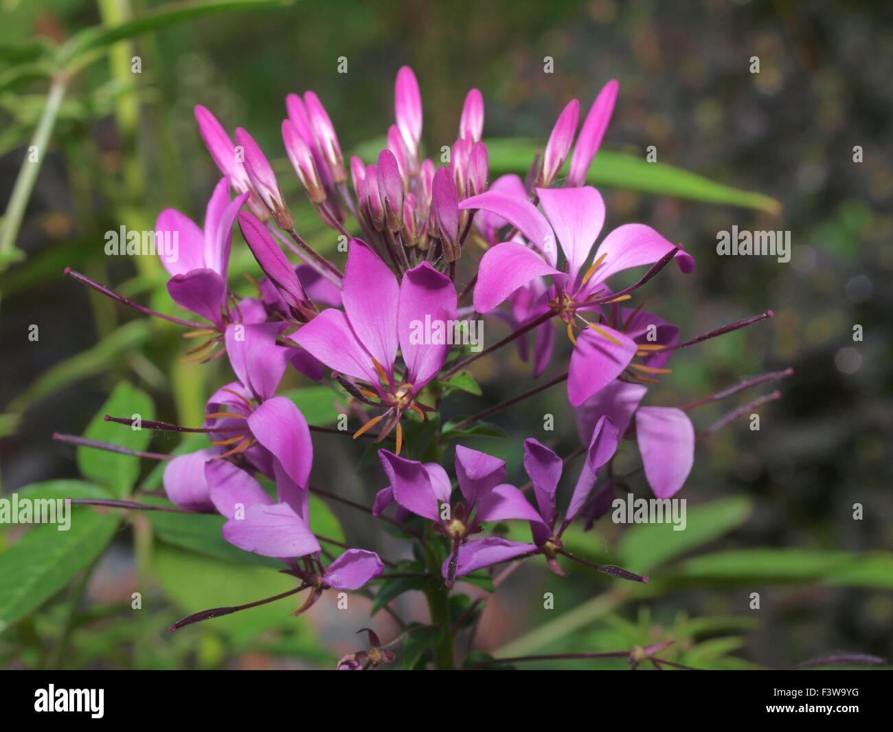 spider flower Stock Photo