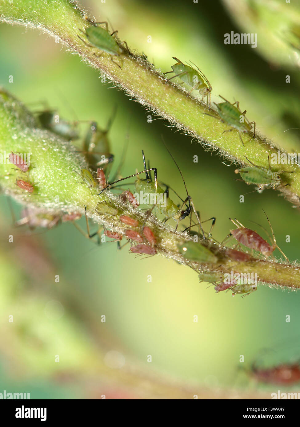 Aphids - Stock Image
