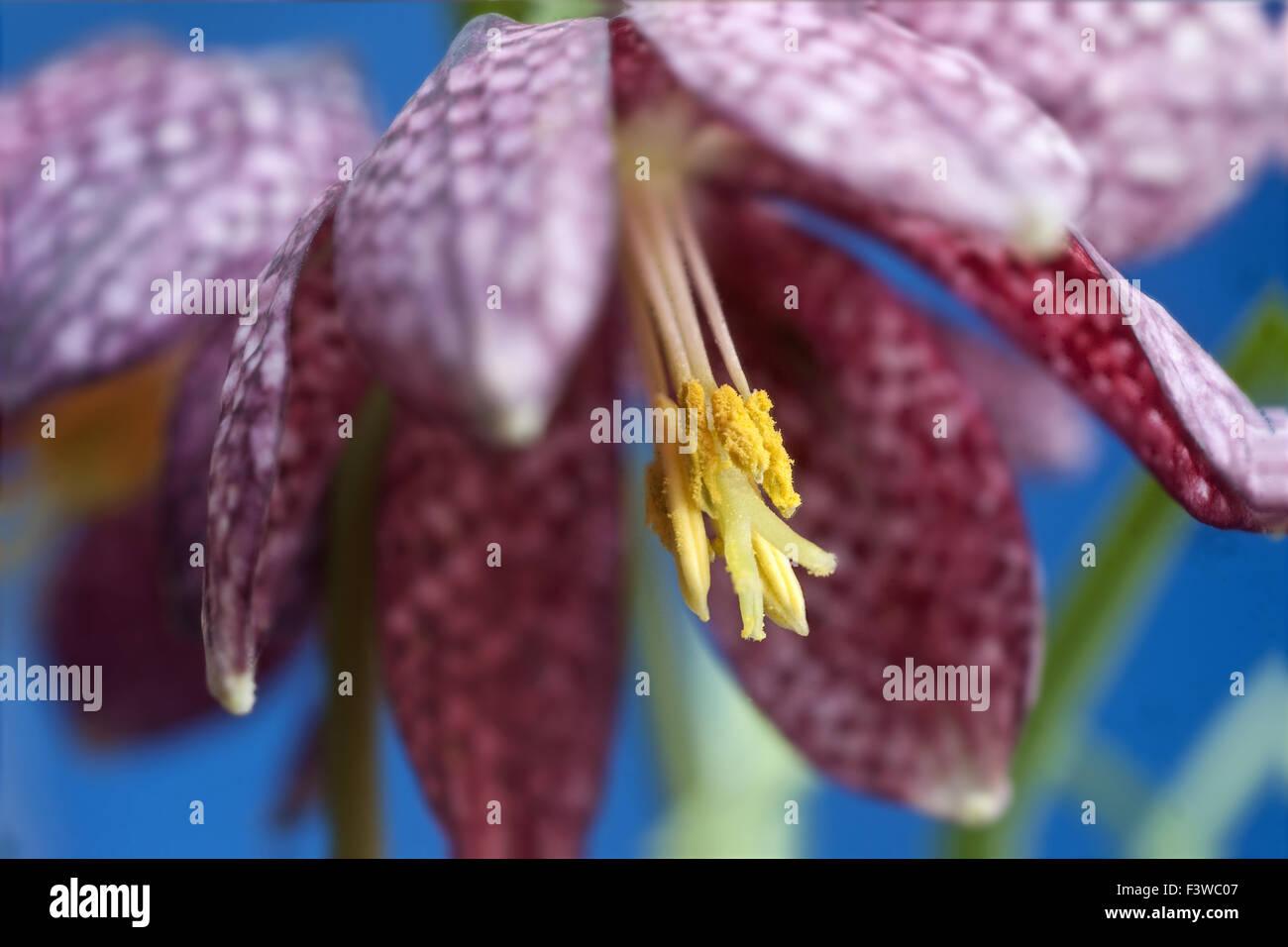 Flowering Fritilliaria meleagris - Stock Image