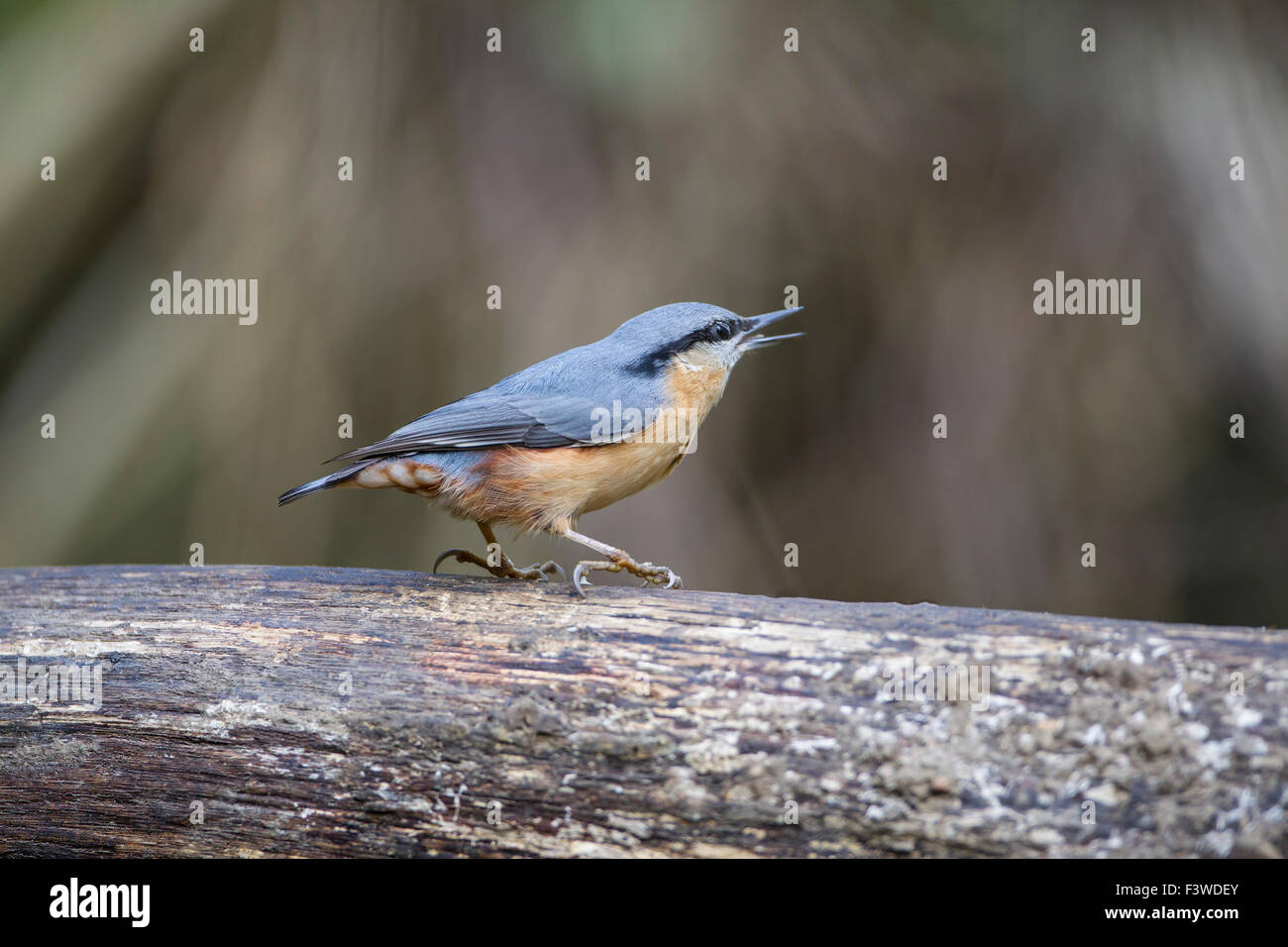 Nuthatch Sitta Europaea side view perched on a wooden branch with bill open - Stock Image