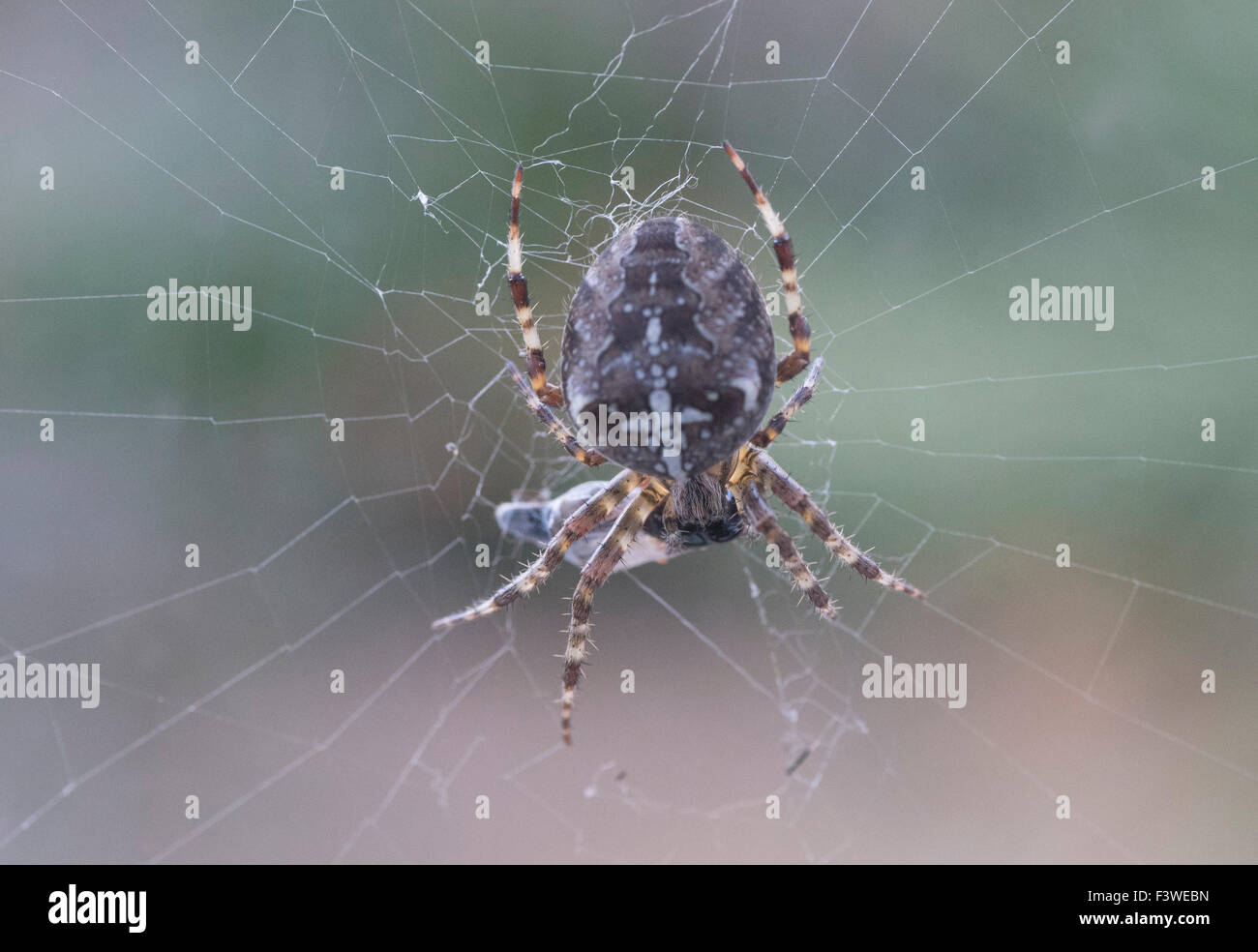Spider in web with covered prey on an abstract background - Stock Image