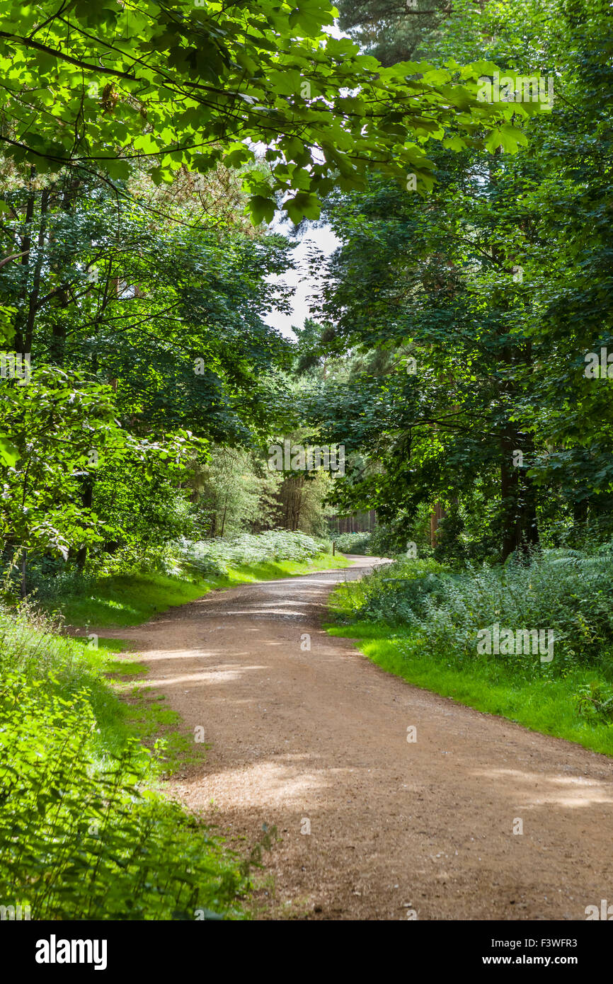 Trail through Thetford Forest, Norfolk, England, UK - Stock Image