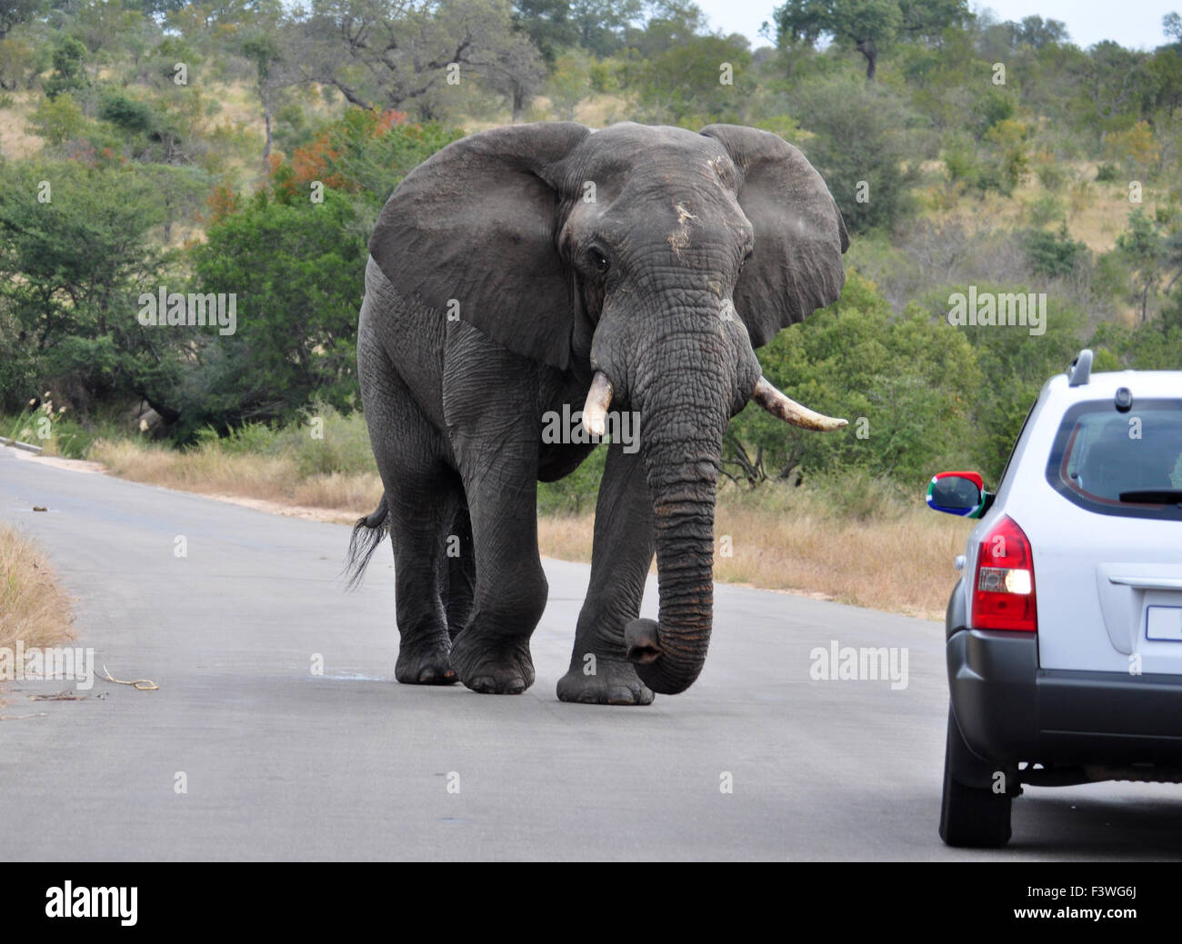 African Elephant - Stock Image