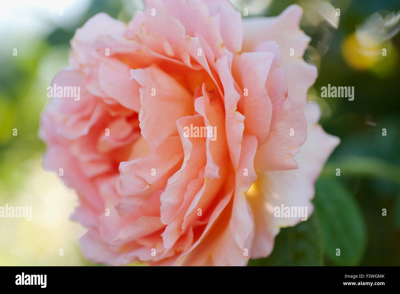 fully bloomed rose Stock Photo