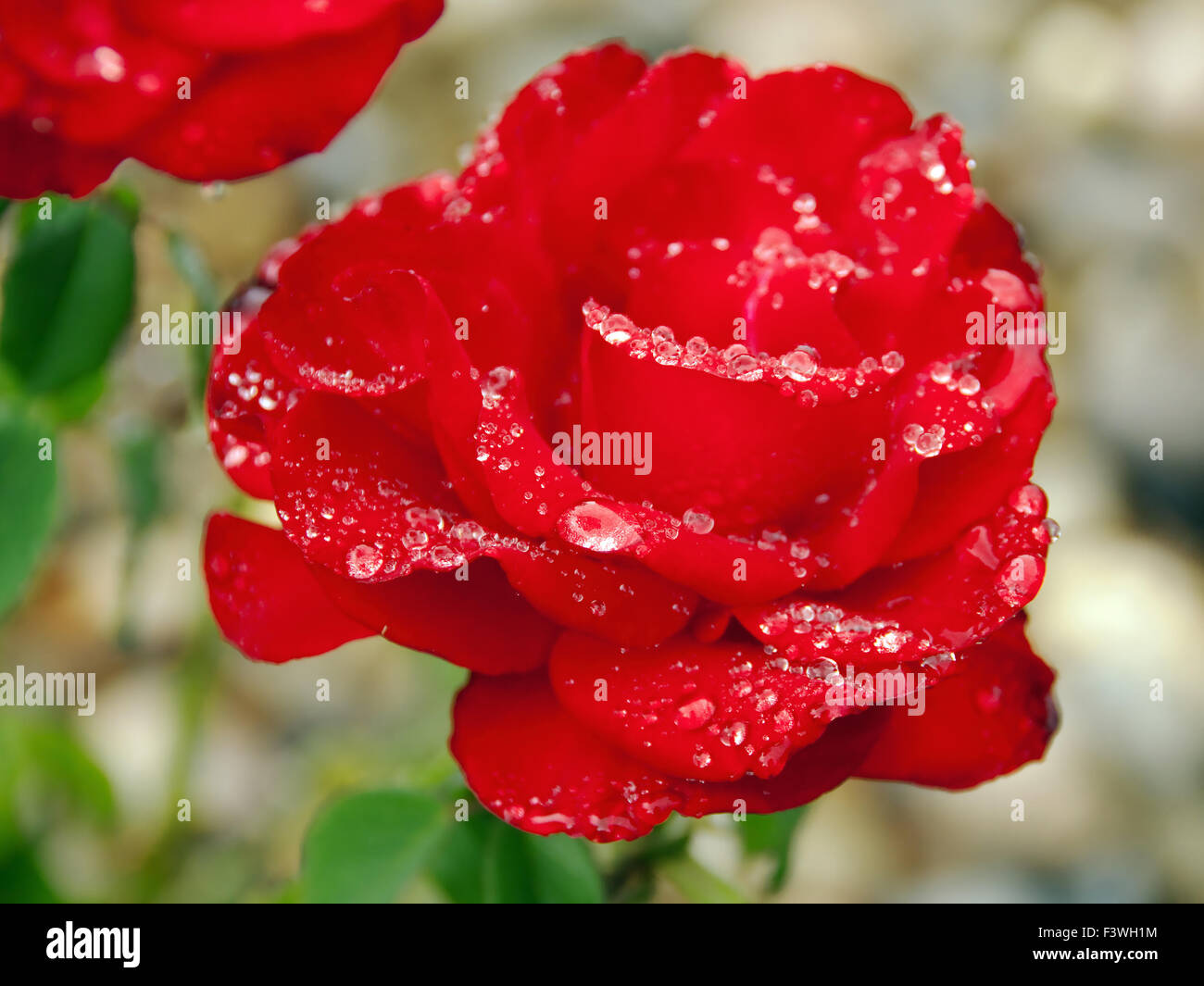 perfect red rose with raindrops Stock Photo