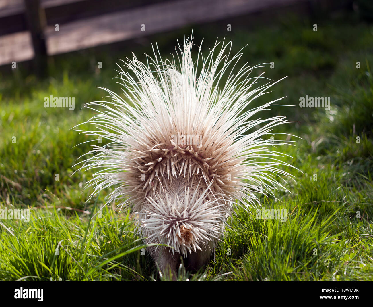 The crested porcupine  (Hystrix cristata), with its quills raised in a defensive posture. Stock Photo