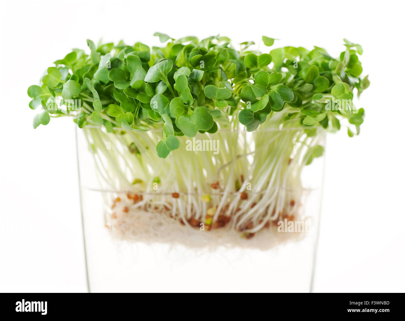 newly sprouted radish seeds Stock Photo