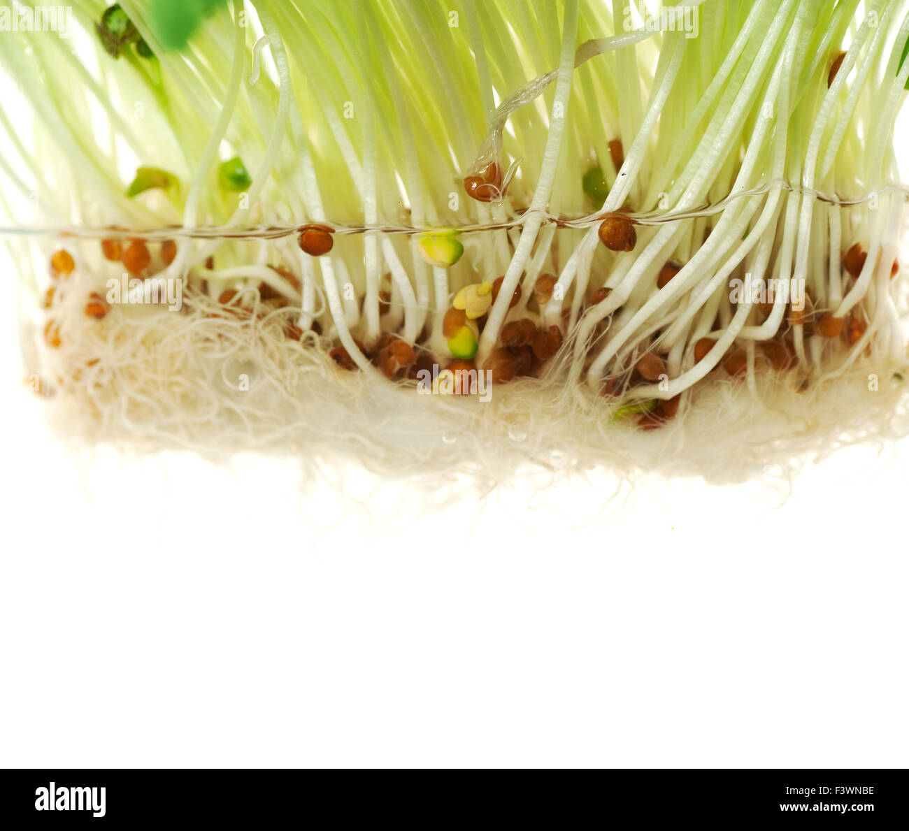 radish sprouts in water Stock Photo