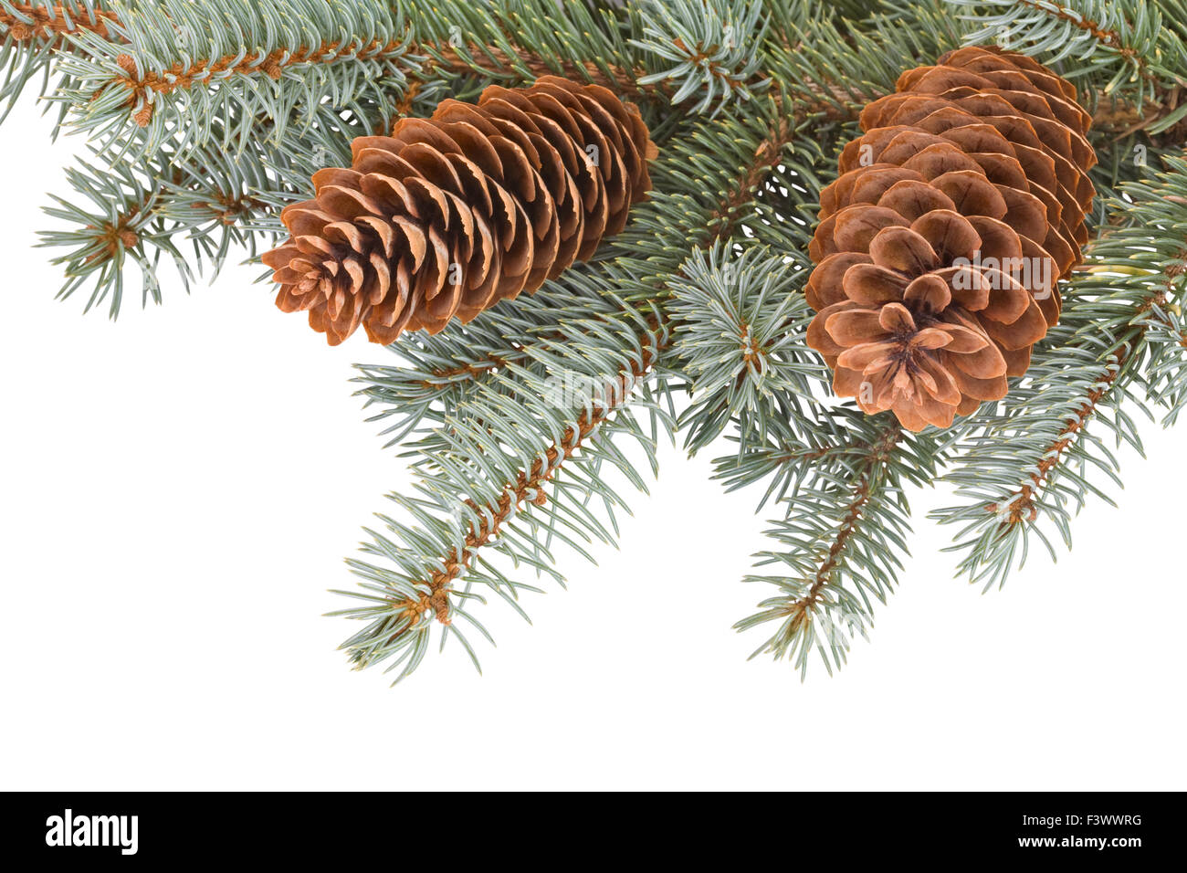 fir tree branches with pinecones - Stock Image