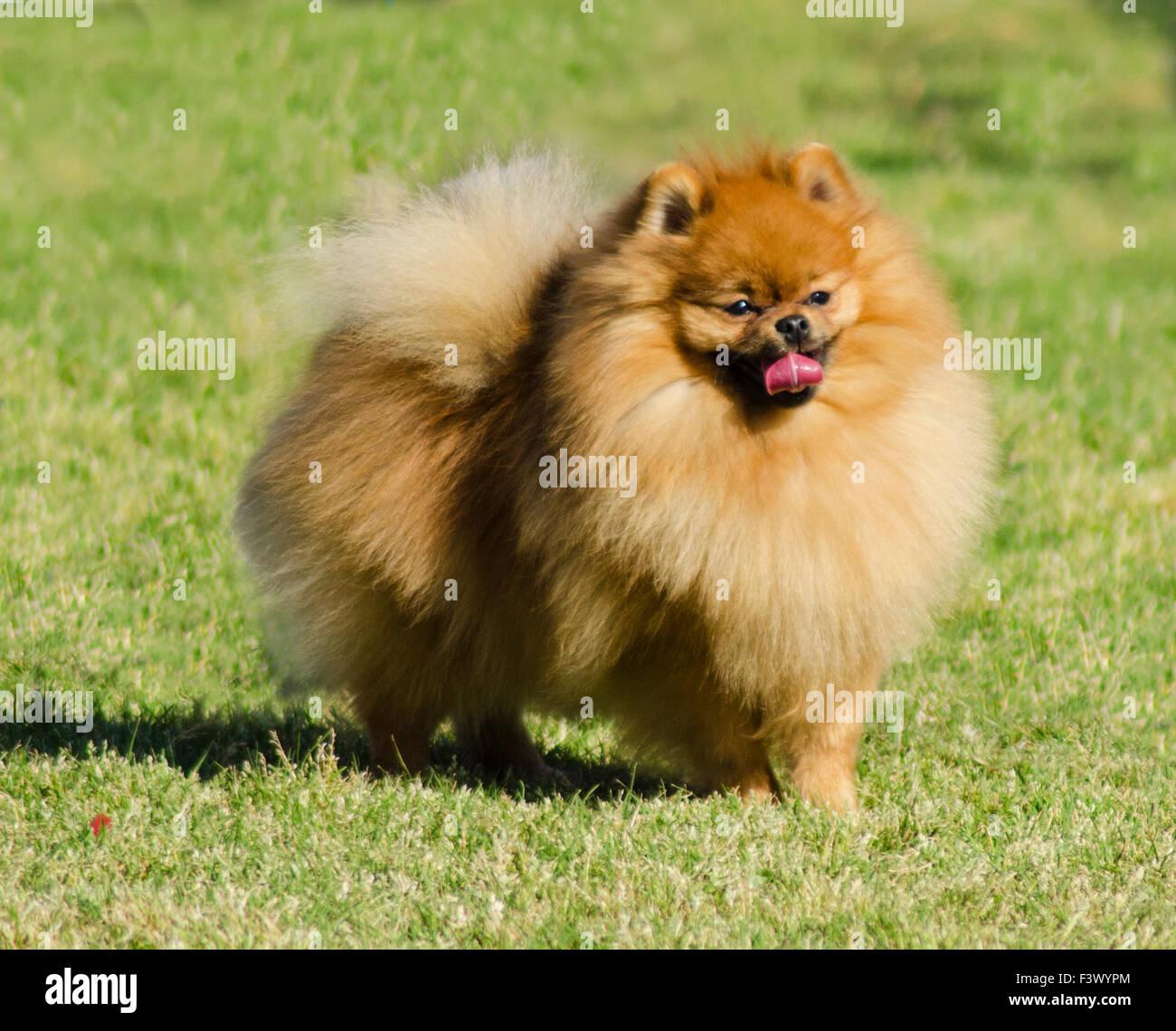 National Dog Show Pomeranian