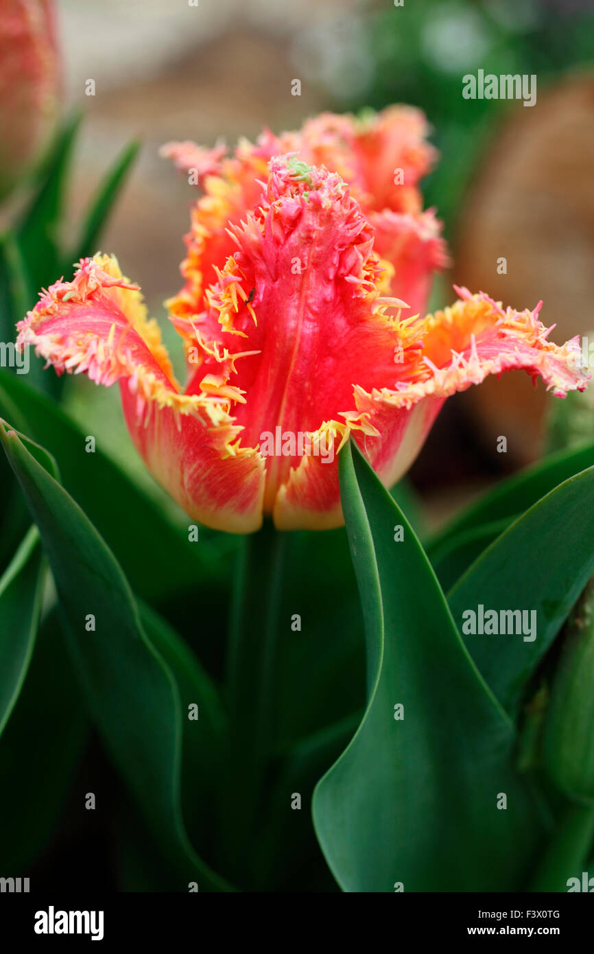 Tulipa 'Real Time' Tulip close up of flower - Stock Image