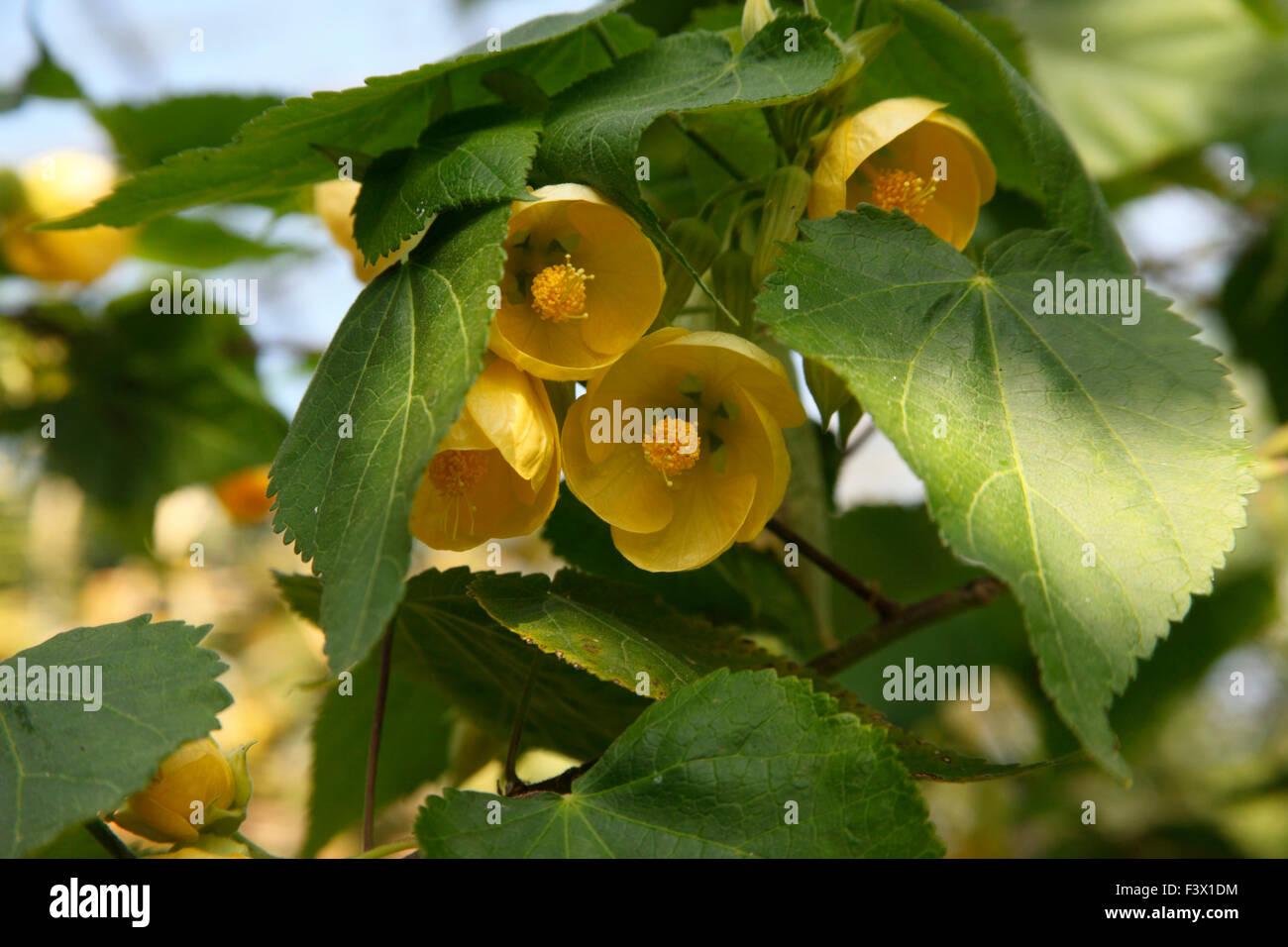 Abutilon Canary Bird Shrub In Flower Close Up Stock Photo