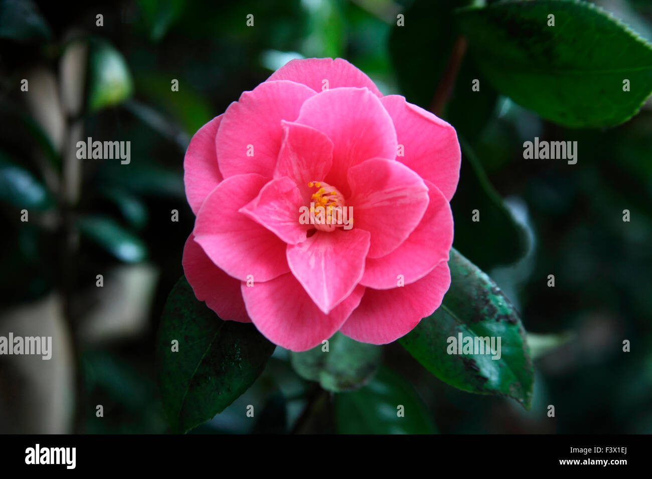 Camellia 'High wide n handsome' close up of flower - Stock Image