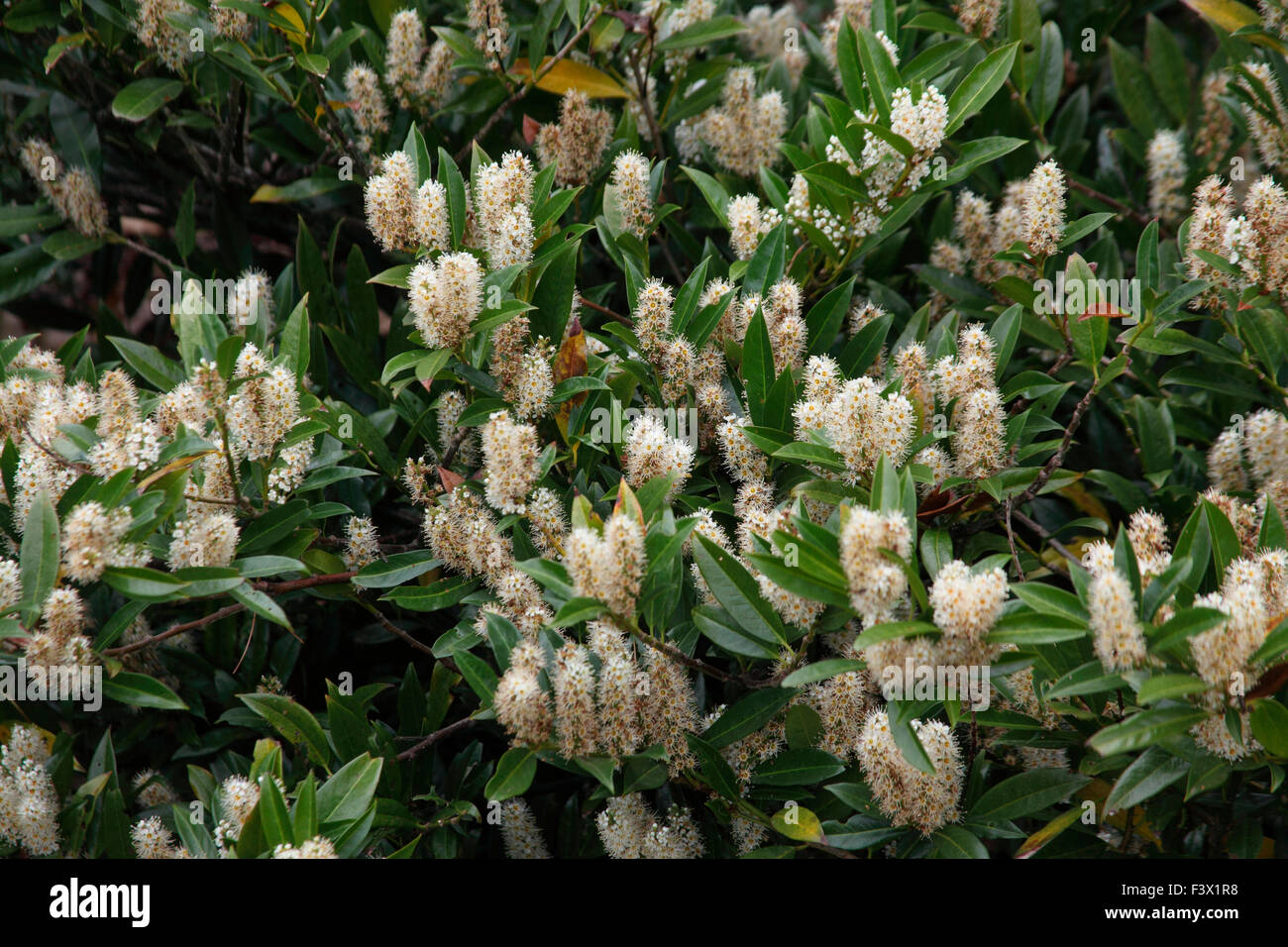 Prunus laurocerasus  'Otto Luyken' shrub in flower - Stock Image