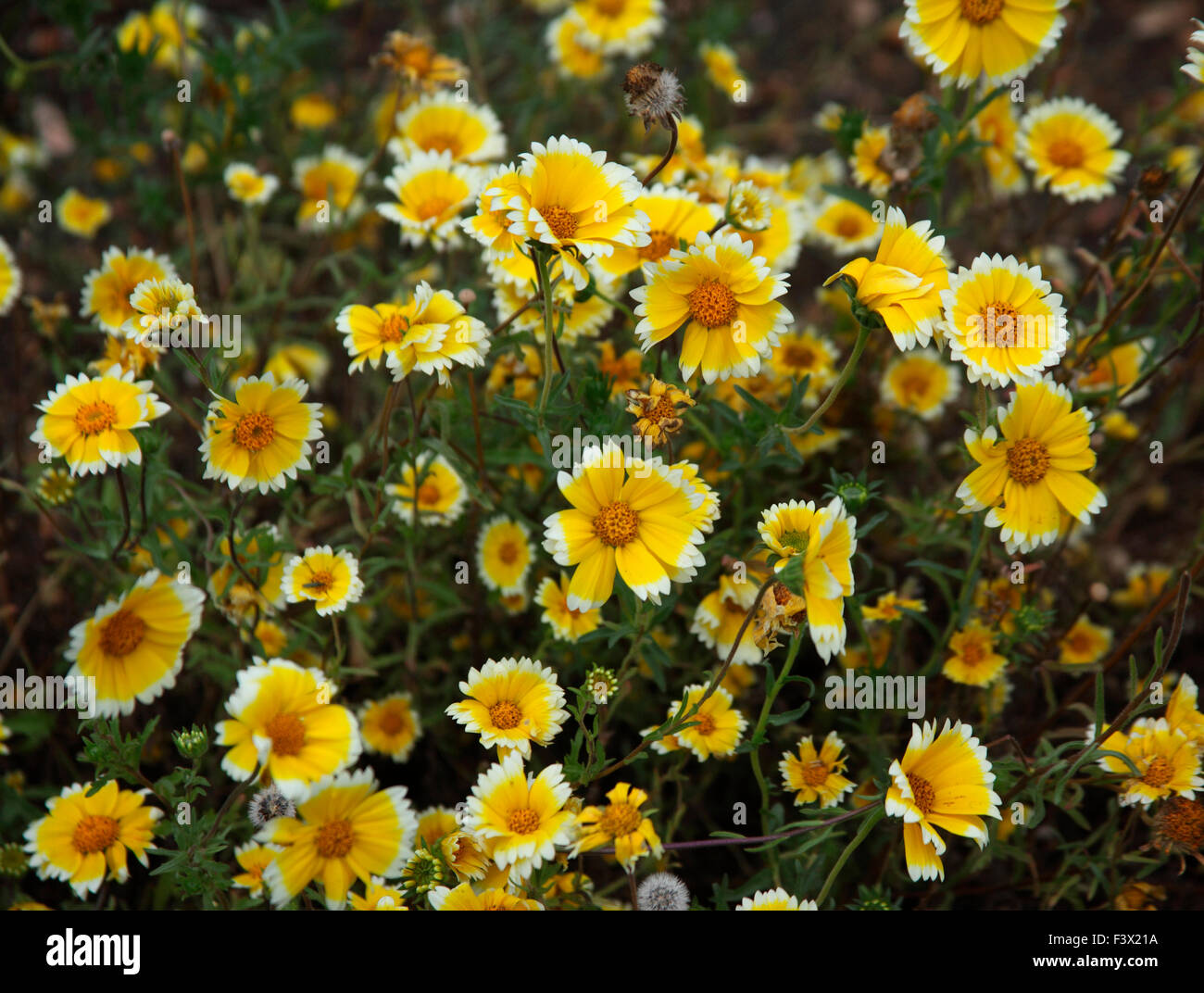 Layia platyglossa 'Tidy tips' plant in flower - Stock Image