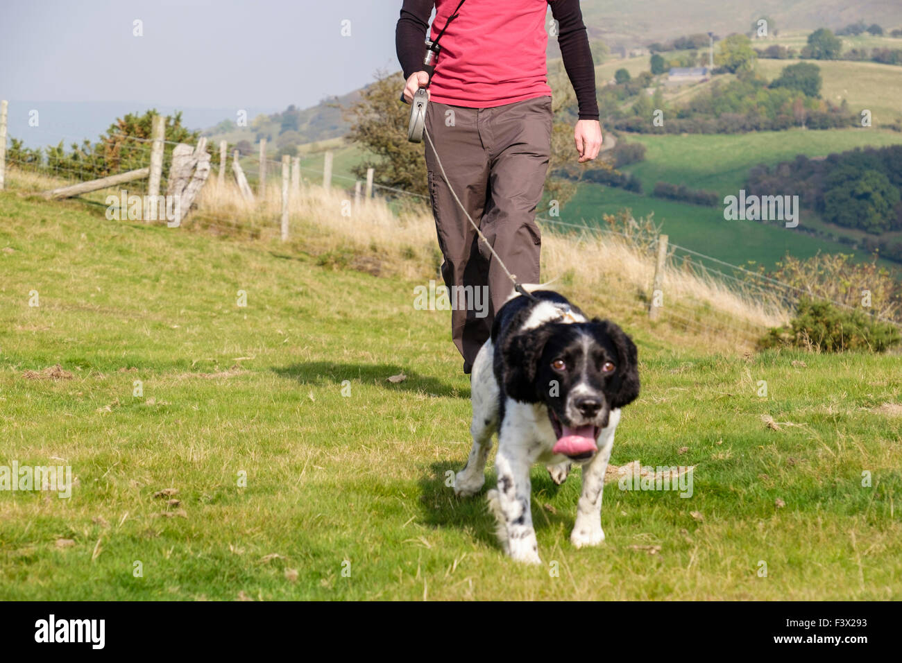 Dog walker owner taking an English Springer Spaniel dog for a daily walk on a lead in countryside Dog pulling. Todleth - Stock Image