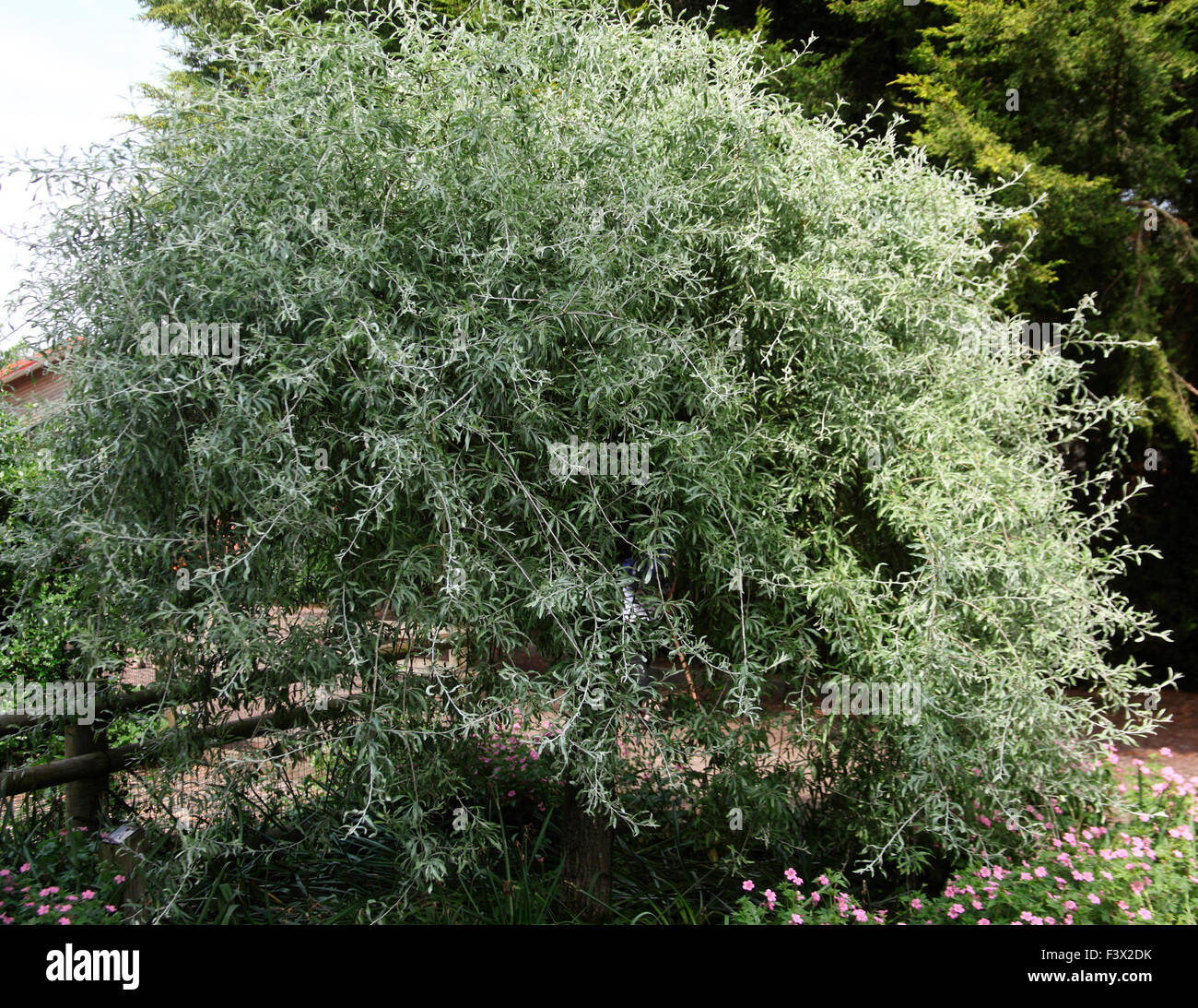 Pyrus salicifolia 'Pendula' Willow leaved Pear close up of tree - Stock Image