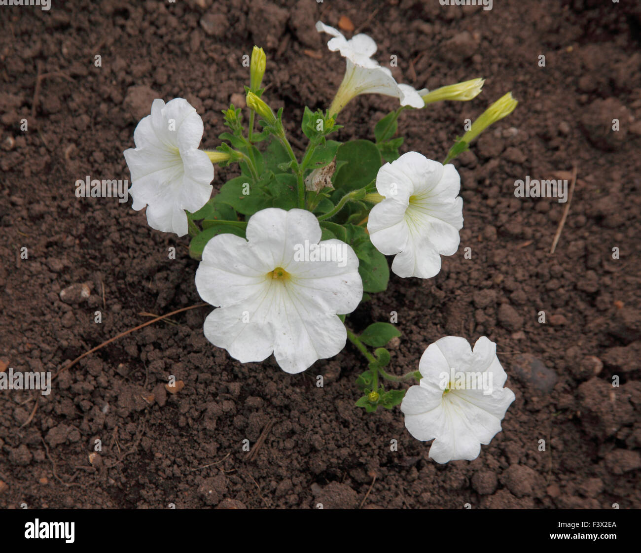 Petunia 'Frenzy White' close up of flowers - Stock Image