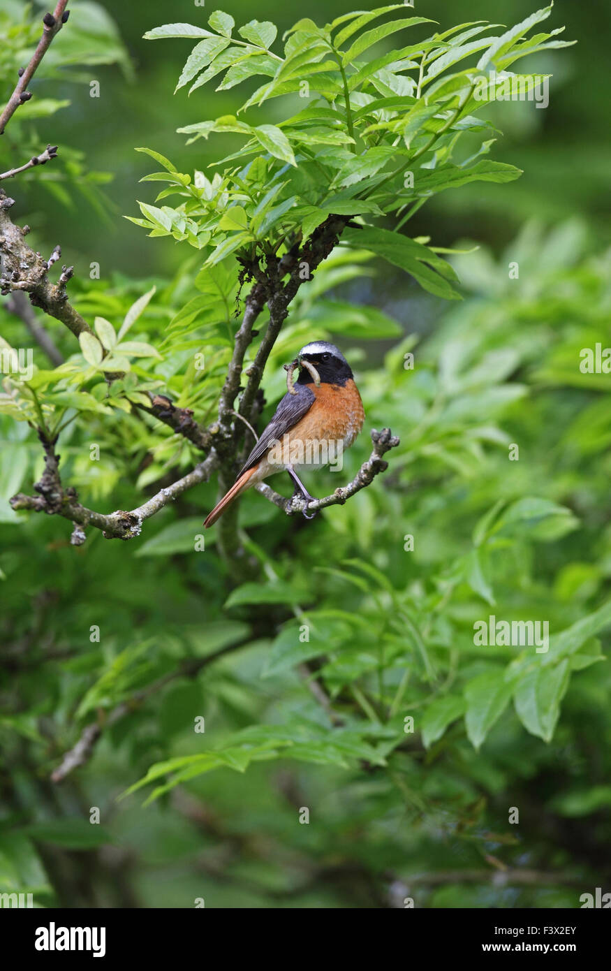 Male perching on ash tree branch with beakfull of caterpillers Carmarthenshire june 2015 - Stock Image