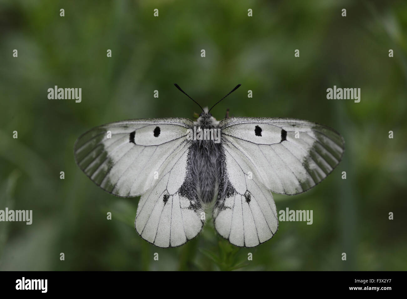 at rest with wings open Hungary May 2015 - Stock Image