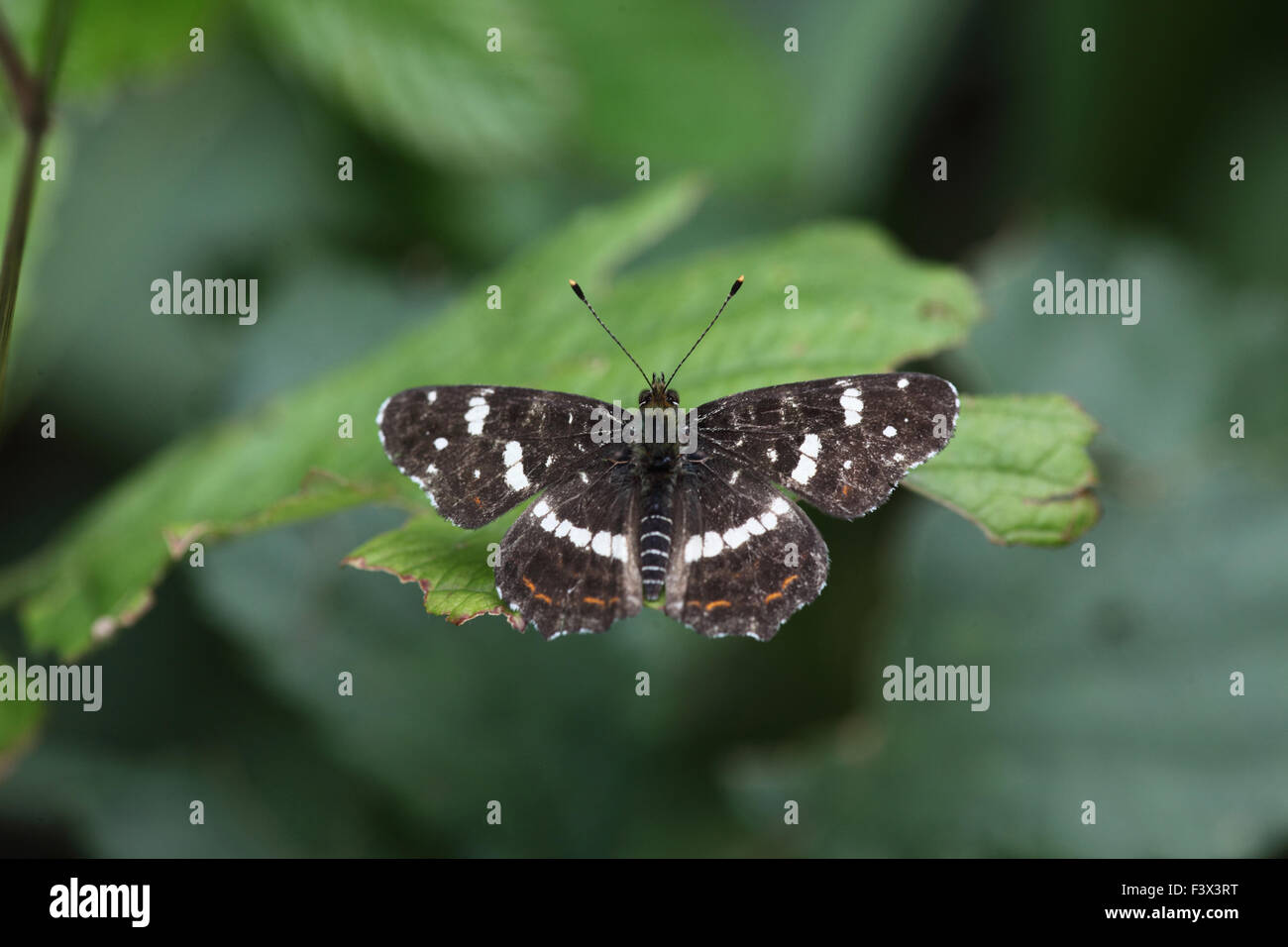 Map butterfly Second brood at rest on leaf Hungary June 2015 - Stock Image
