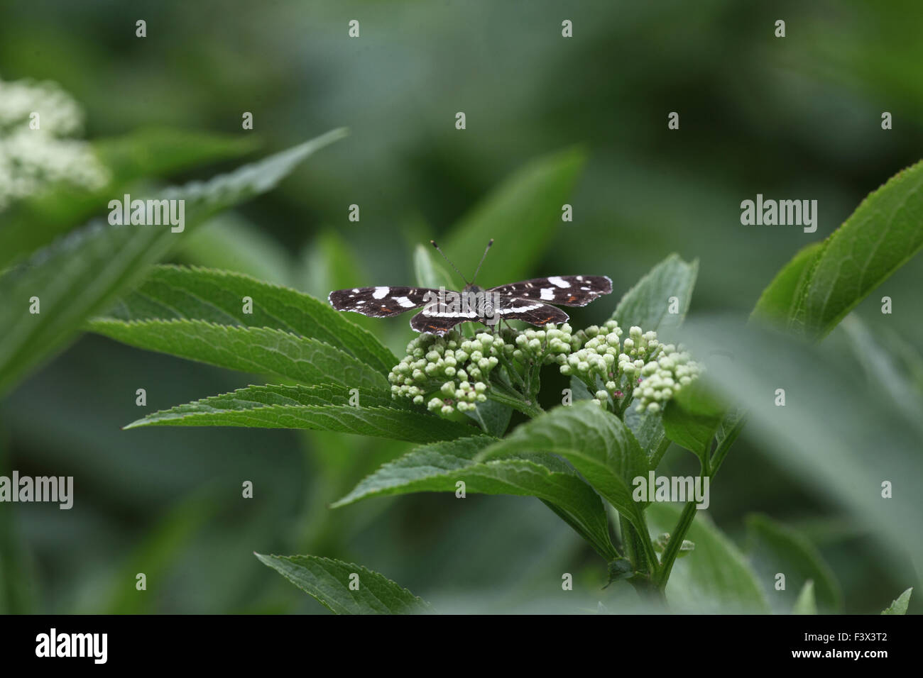 Map butterflySecond brood taking nectar from elder flowers Hungary June 2015 - Stock Image