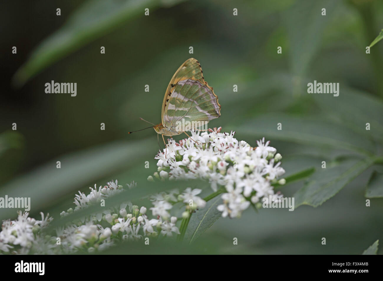 Male on scrub elder wings closed Hungary June 2015 - Stock Image