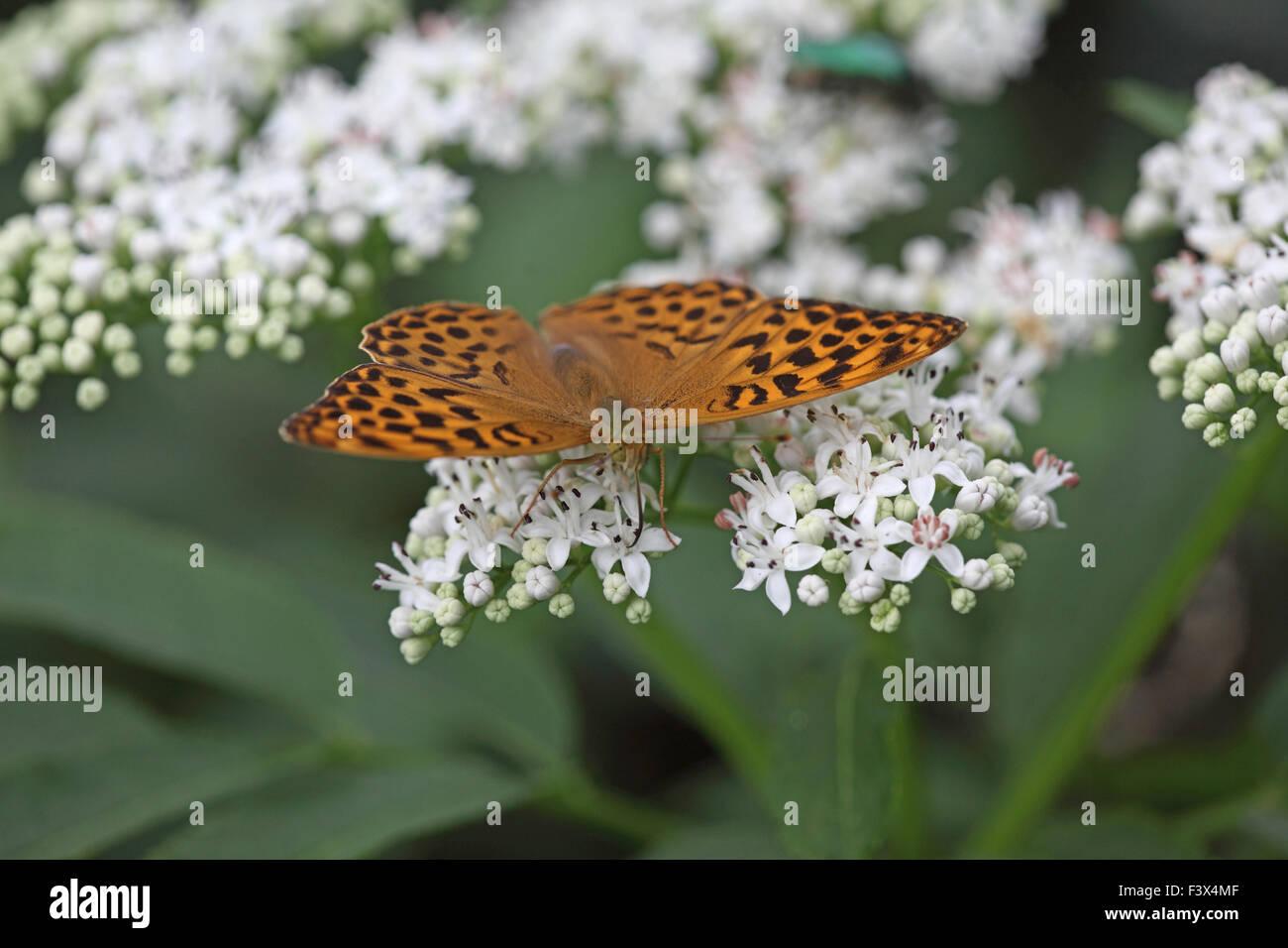Female taking nectar from scrub elder Hungary June 2015 - Stock Image