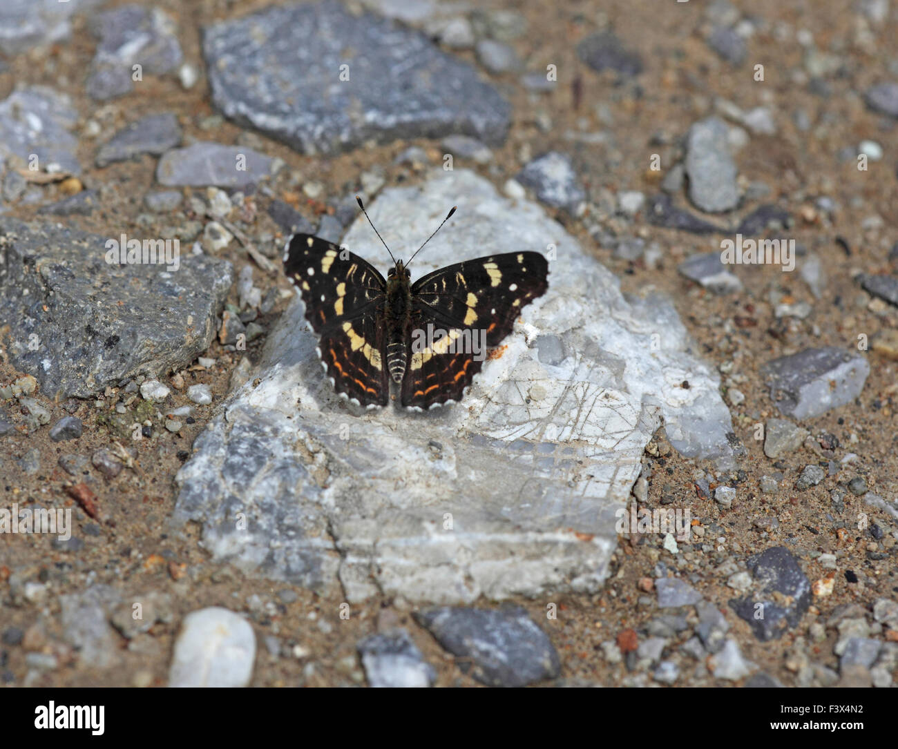 At rest on rock second brood Hungary June 2015 - Stock Image