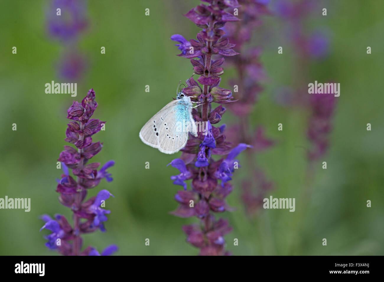 Feeding on wild sage Hungary June 2015 - Stock Image