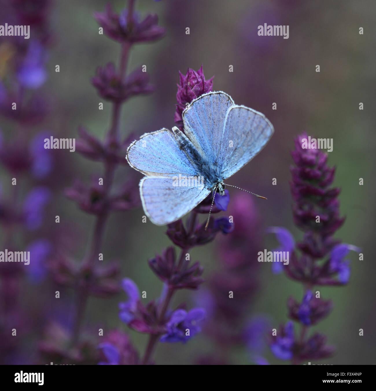 Feeding on wild sage wings open Hungary June 2015 - Stock Image