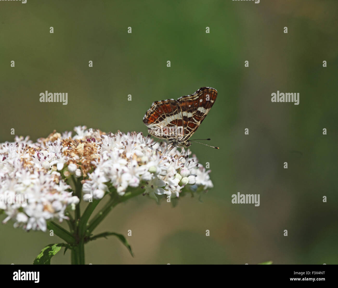 Taking nectar from scrub elder Hungary June 2015 - Stock Image