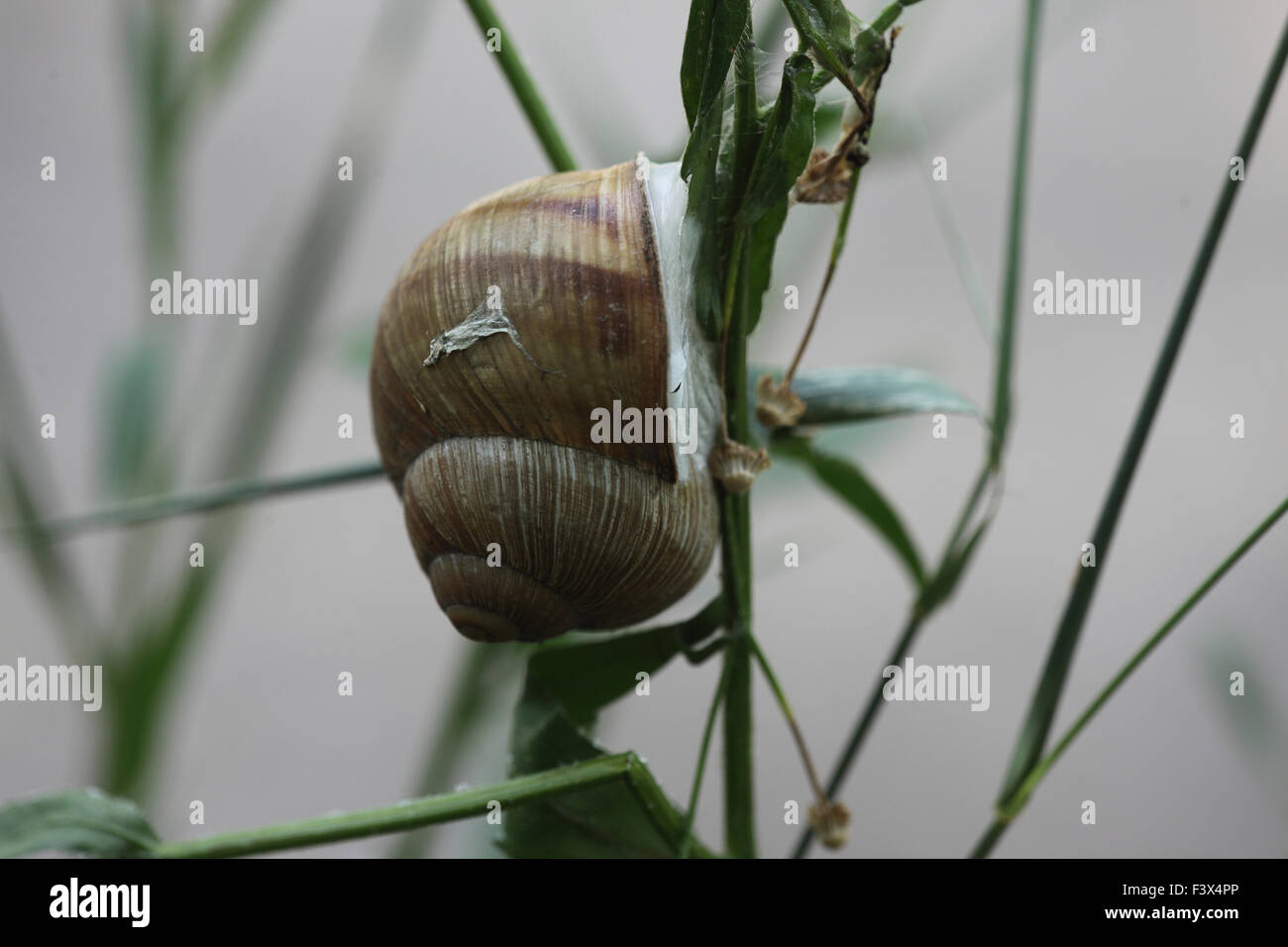 attached to plant stem in dry weather and sealed to prevent dessication Hungary June 2015 - Stock Image