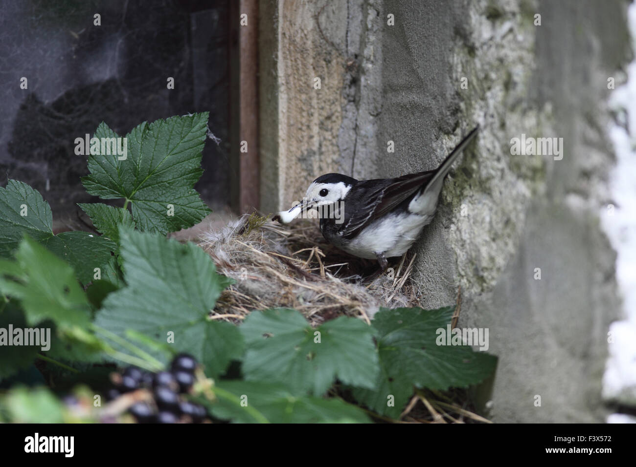 removing feacal sac from nest on barn windowsill carmarthenshre July 2015 - Stock Image