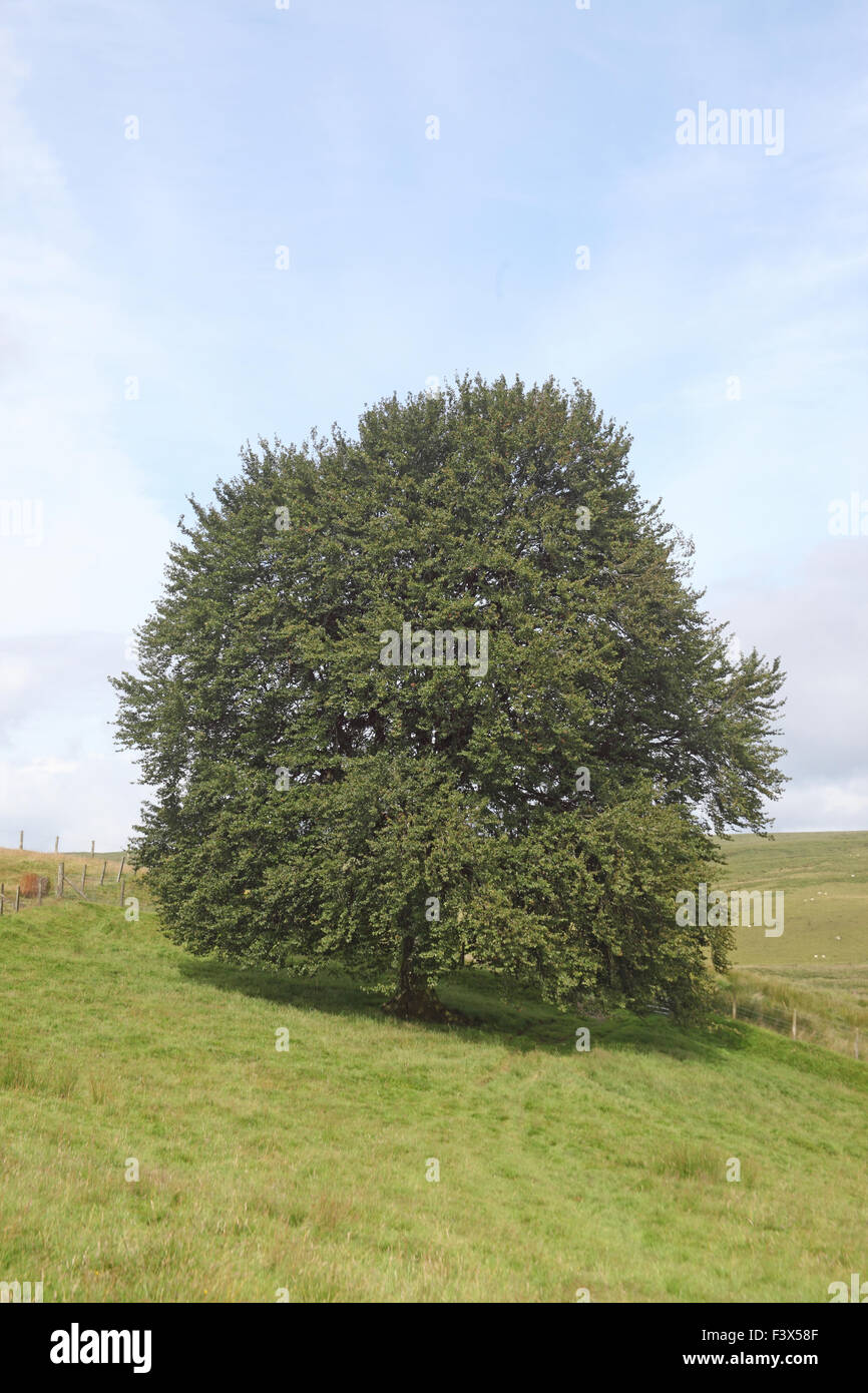 Mature beech tree Fagus sylvatica in summer - Stock Image