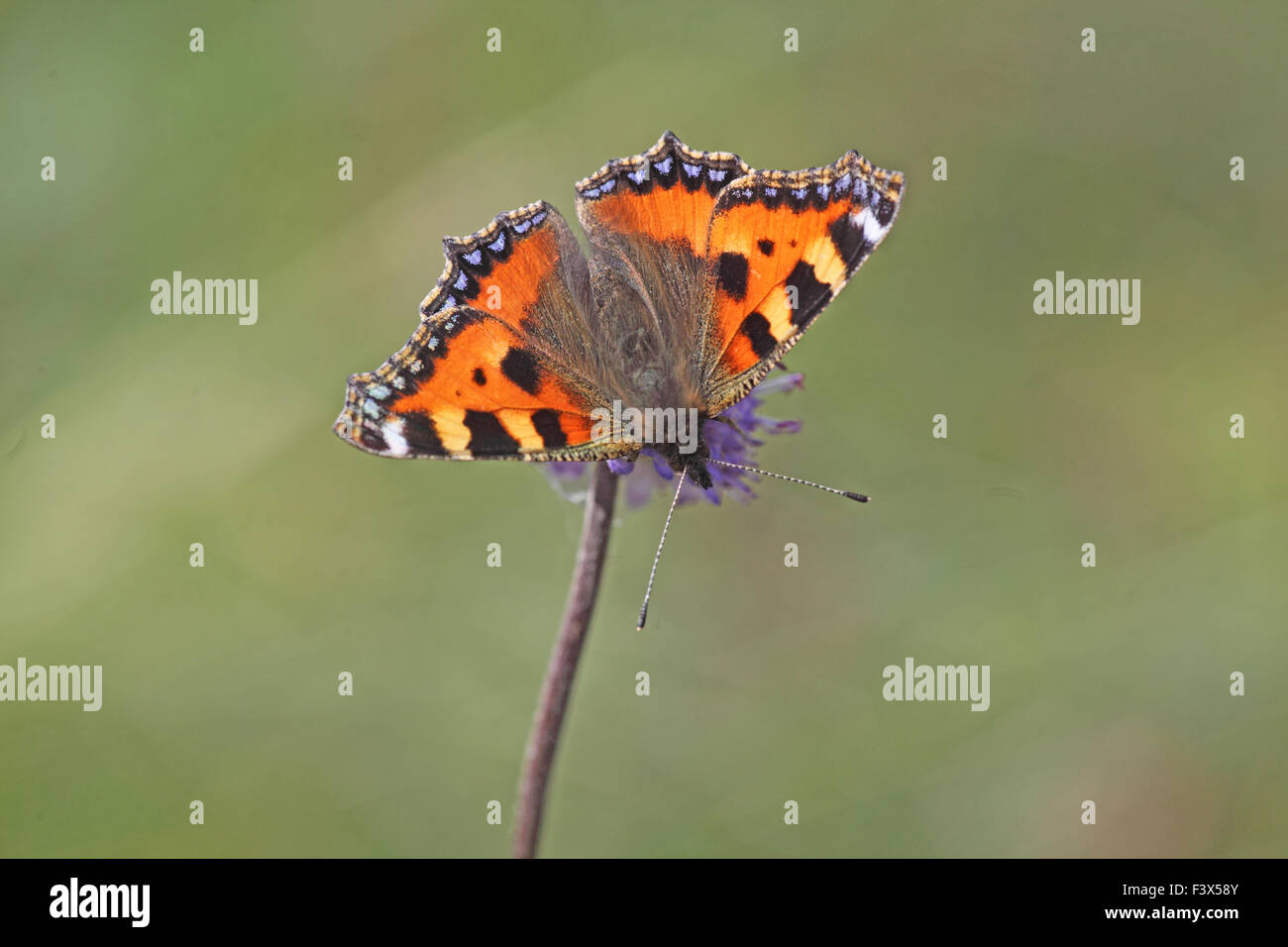 Small tortoiseshell Aglais urticae feeding on scabious flower - Stock Image