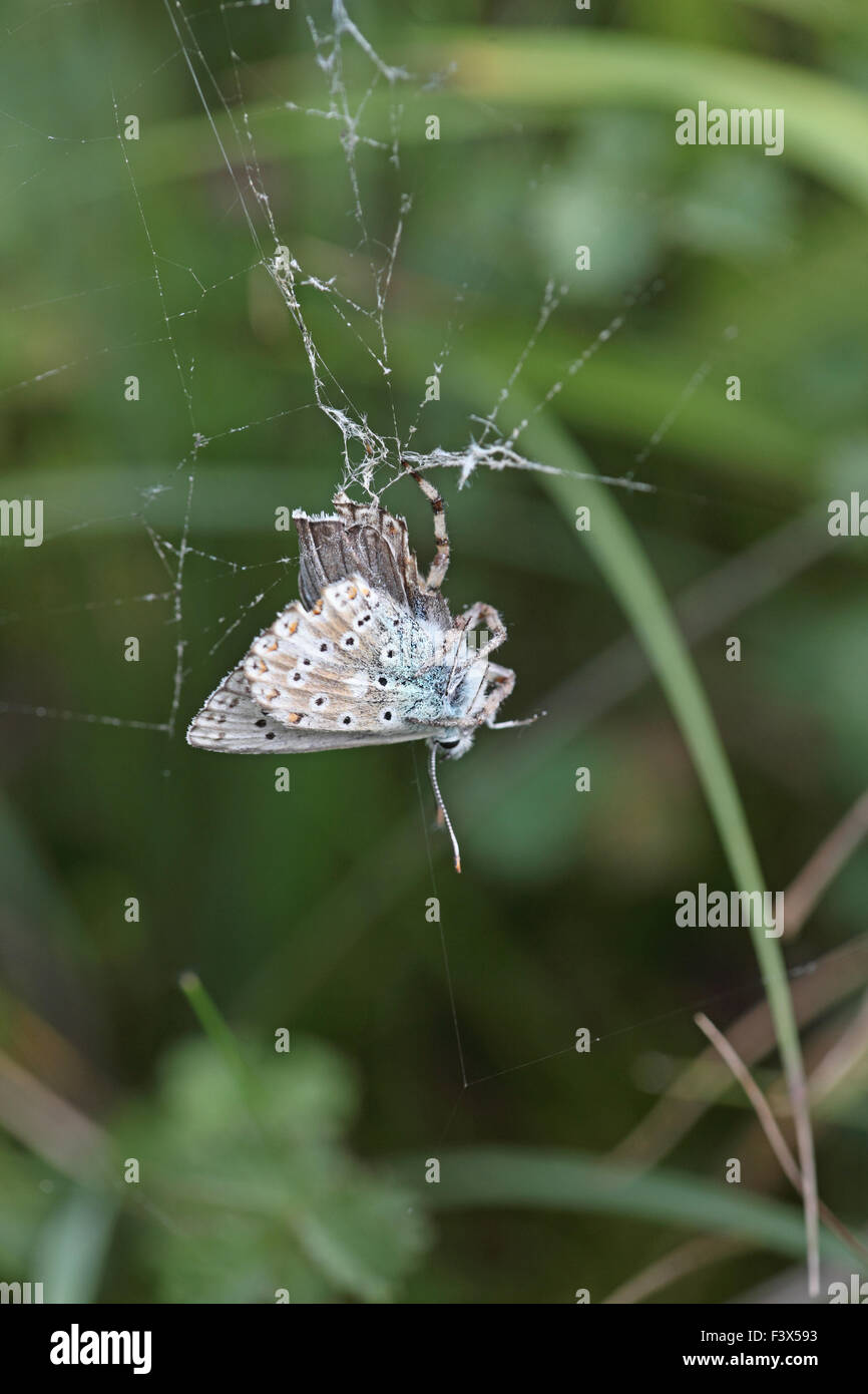 Chalkhill blue butterfly Lysandra coridon male captured by spider - Stock Image