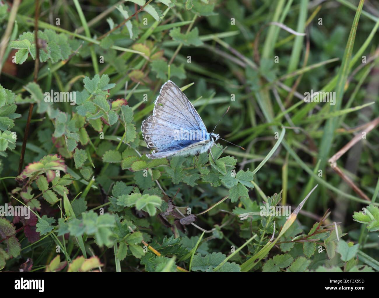 Chalkhill blue Lysandra coridon male in grasses wings open - Stock Image
