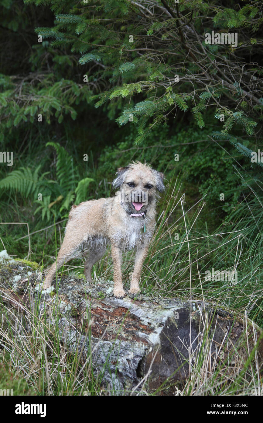 Border terrier standing on log in forestry - Stock Image