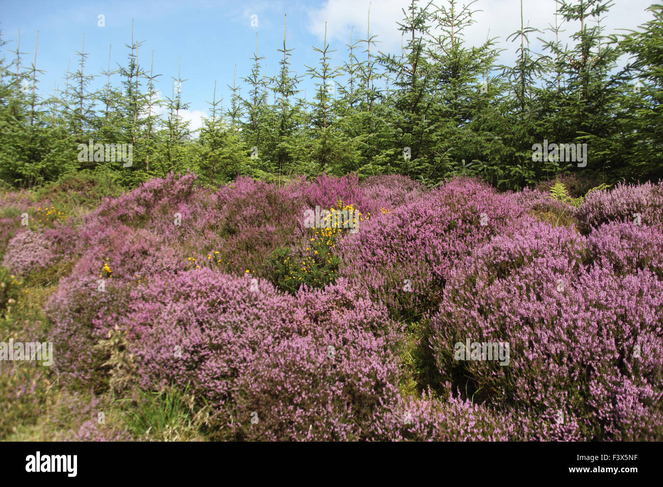 Heather Calluna vulgaris in flower on edge of conifer plantation - Stock Image