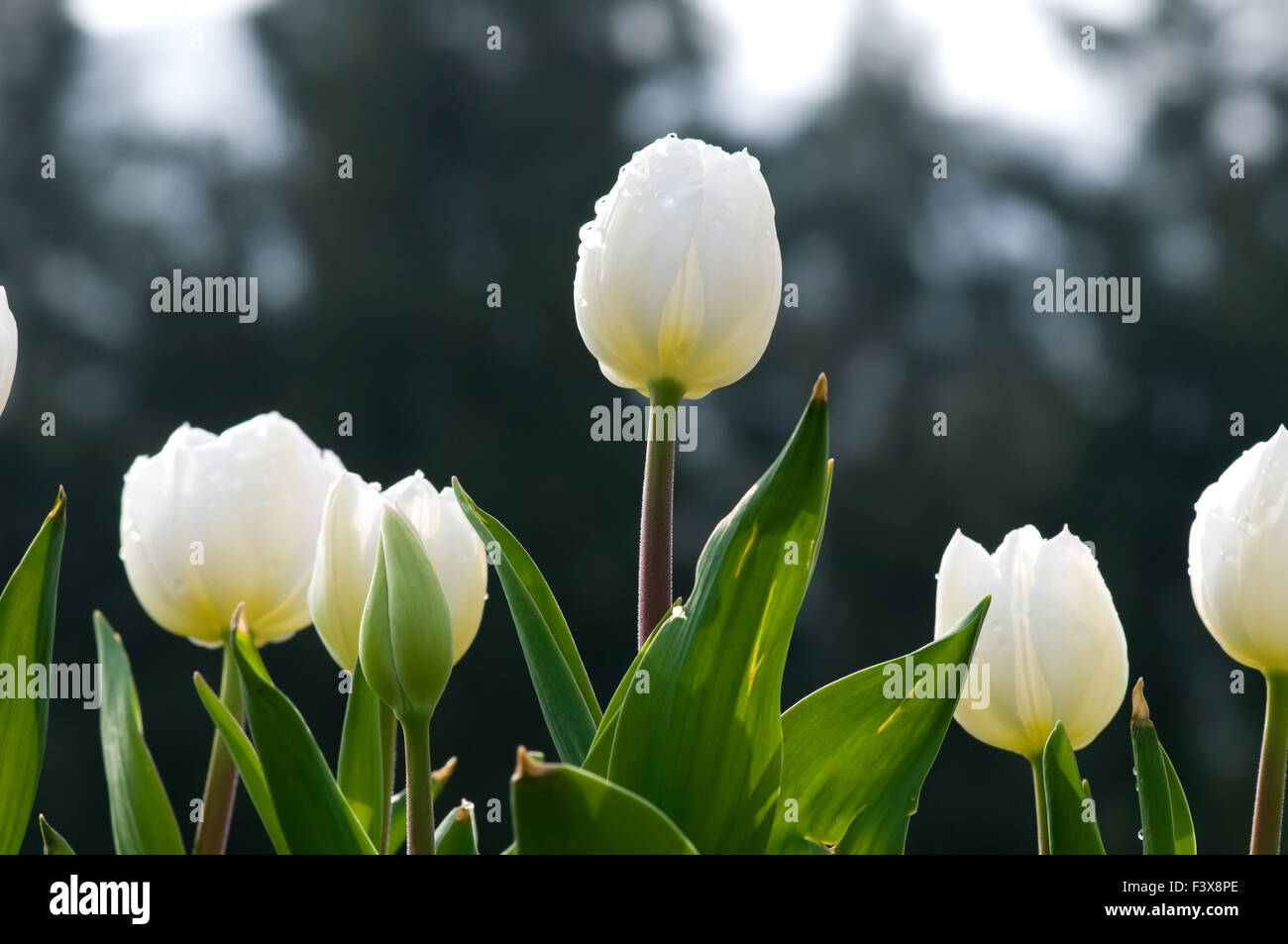 Line Of Tulips Stock Photos Line Of Tulips Stock Images Alamy